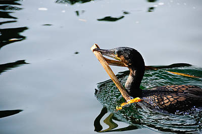 White Breasted Cormorant Poster