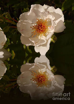 White Briar Rose Reflection Poster by Christiane Schulze Art And Photography
