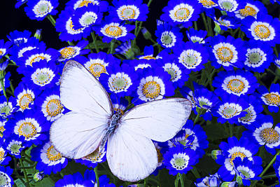 White Butterfly In Blue Flowers Poster by Garry Gay