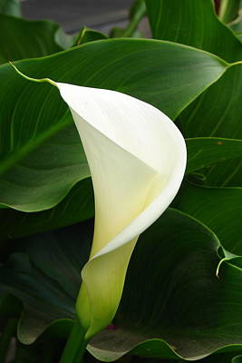 Poster featuring the photograph White Calla by Lew Davis