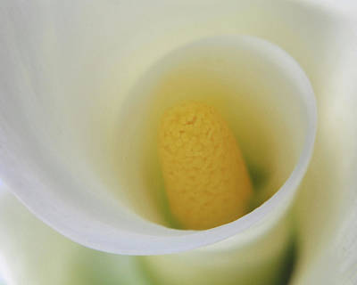 White Calla Lily Abstract Poster by Anna Miller