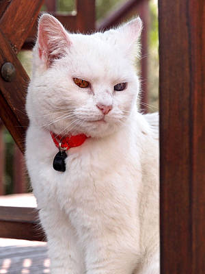 White Cat Under The Garden Chair Poster by Gill Billington