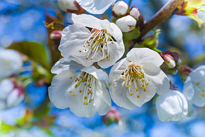 White Cherry Blossoms Blooming In The Springtime Poster