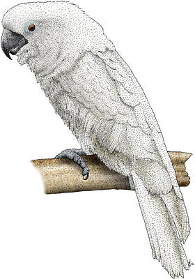 White Cockatoo Poster by Roger Hall