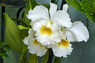 Poster featuring the photograph White Corsage Orchid Trio by Cindy McDaniel