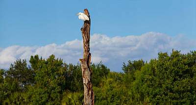 White Crane On A Dead Tree, Boynton Poster by Panoramic Images