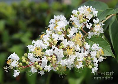 White Crepe Myrtle Flower Poster by Carol Groenen