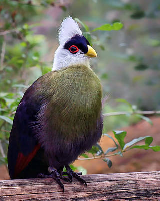 White Crested Turaco Poster