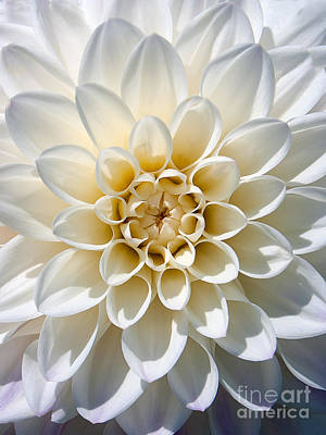 Poster featuring the photograph White Dahlia by Carsten Reisinger