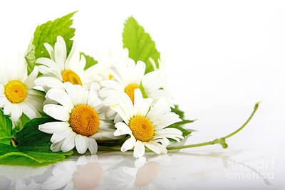 White Daisy Flowers Poster by Boon Mee
