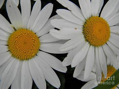 White Daisy In Full Bloom Poster