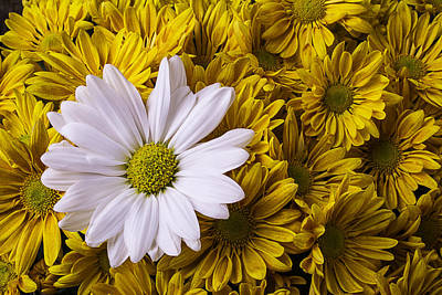 White Daisy With Golden Mums Poster