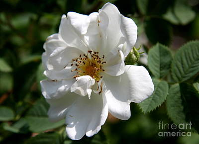 White Dog Rose Poster by Christiane Schulze Art And Photography