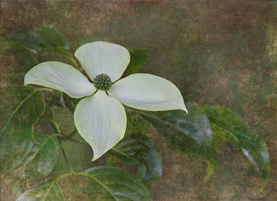 White Dogwood Poster by Angie Vogel