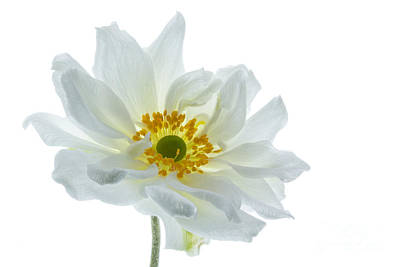 White Double Japanese Anemone Poster by Ann Garrett