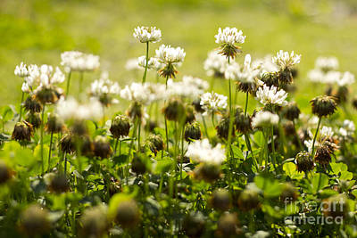 White Dutch Clover Wild Plants In The Sunshine Poster
