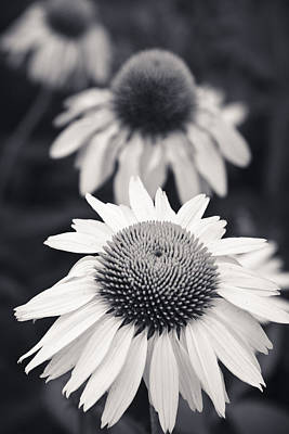 White Echinacea Flower Or Coneflower Poster