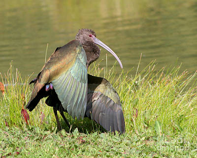 Poster featuring the photograph White-faced Ibis 1 by Bob and Jan Shriner