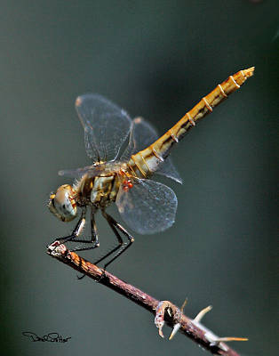 White-faced Meadowhawk Poster by David Salter