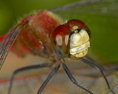 White-faced Meadowhawk Poster by Tony Beck