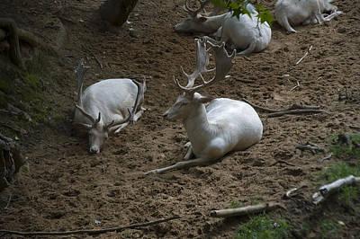White Fallow Deer Bucks Group Poster