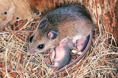 White-footed Mouse With Young Poster