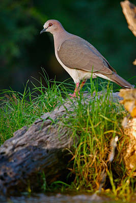 White-fronted Dove Poster