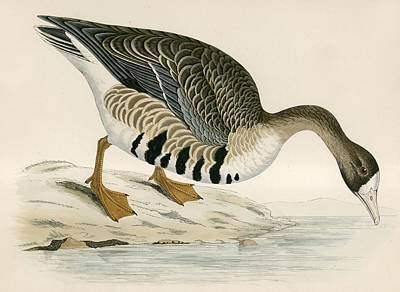 White Fronted Goose Poster