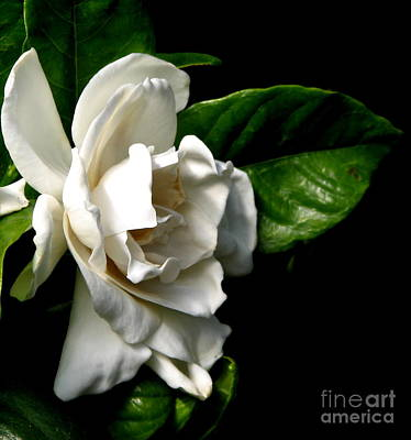 White Gardenia Poster by Rose Santuci-Sofranko