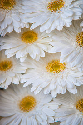 White Gerbera. Amsterdam Flower Market Poster by Jenny Rainbow