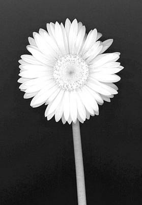 White Gerbera Daisy - Infrared Poster by Suzanne Gaff