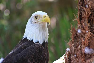 White Head Eagle Poster by � Marcela Montano - Vwpics