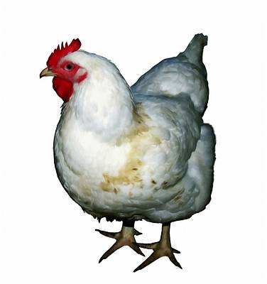 White Hen Isolated On White Poster