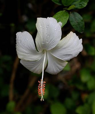 White Hibiscus Poster by Pamela Walton