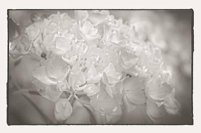 Poster featuring the photograph White Hydrangea by Craig Perry-Ollila