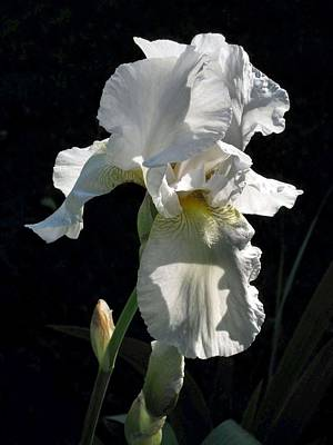 White Iris In The Morning Poster