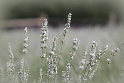 Poster featuring the photograph White Lavender by Lynn Sprowl
