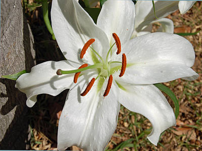 White Lily Poster by Aimee L Maher Photography and Art Visit ALMGallerydotcom