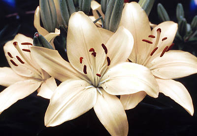 White Lily Beauty Poster