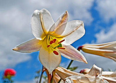 White Lily Flower Against Blue Sky Art Prints Poster