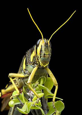 White-lined Bird Grasshopper On Ocotillo Poster by Robert Jensen