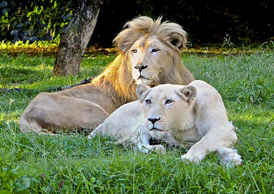 White Lion And Lioness Poster by Venetia Featherstone-Witty