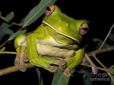 White-lipped Green Tree Frog Poster by BG Thomson