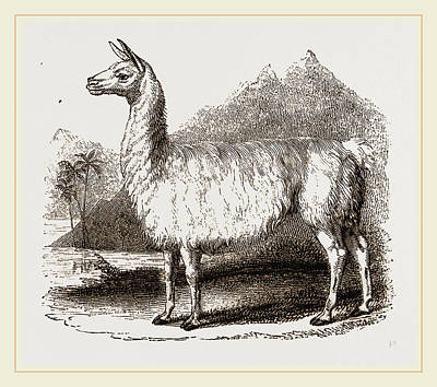 White Llama Poster by Litz Collection
