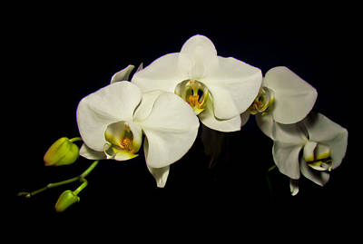 White Orchid II Poster