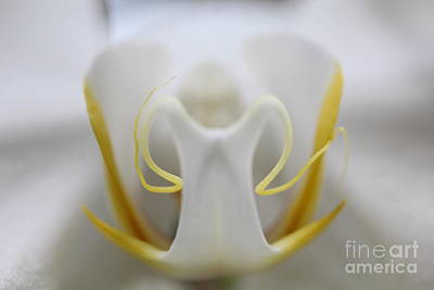White Orchid Macro Poster