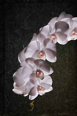 White Orchid Still Life Poster