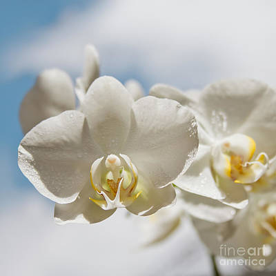 White Orchids - Messengers Of Light Poster by Sharon Mau