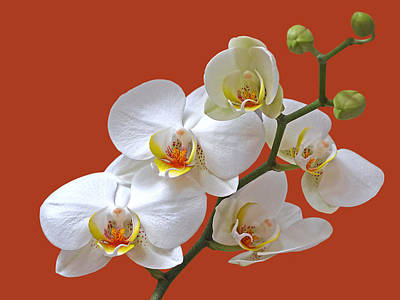 White Orchids On Terracotta Poster by Gill Billington