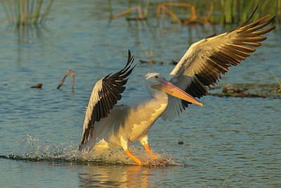 White Pelican Landing, Pelecanus Poster